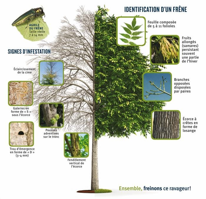 signes et symptômes agrile du frêne